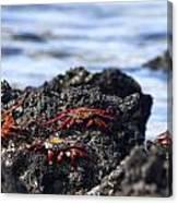 Sally Lightfoot Crabs Canvas Print