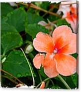 Salmon Impatiens And Dewdrops Canvas Print