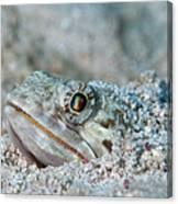 Sand Diver Hiding Below Sand Canvas Print