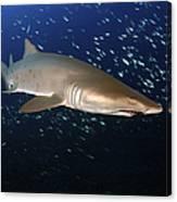 Sand Tiger Shark Off The Coast Of North Canvas Print