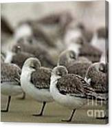Sanderlings Try To Keep Warm At Corporation Beach In Dennis On C Canvas Print