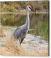 Sandhill Crane Beauty By The Pond Canvas Print