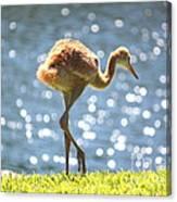 Sandhill Crane Daydreamer Canvas Print