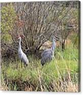 Sandhill Cranes In Colorful Marsh Canvas Print