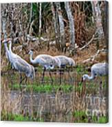 Sandhill Cranes In The Winter Marsh Canvas Print
