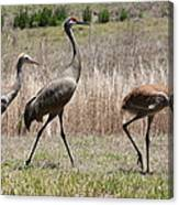 Sandhill Parade Canvas Print
