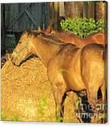 Sandy Eating Hay Canvas Print