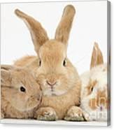 Sandy Rabbit And Babies Canvas Print
