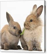 Sandy Rabbits Sharing Grass Canvas Print