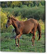 Sandy The Roan - C0058b Canvas Print