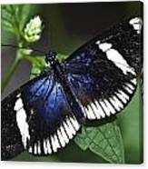 Sara Longwing Canvas Print