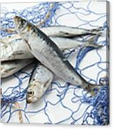 Sardines With Fishnet On White Background Canvas Print