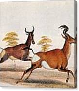 Sassaby And Hartebeest, Canvas Print