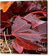 Saturated Maroon Canvas Print