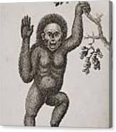 Satyrus, Ourang Outang. Pongo Or Jocko Canvas Print