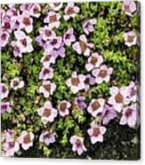 Saxifraga Oppositifolia Flowers Canvas Print