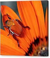 Scarab Beetle On A Guzmania Flower Canvas Print