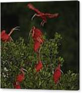 Scarlet Ibises Roost In A Red Mangrove Canvas Print