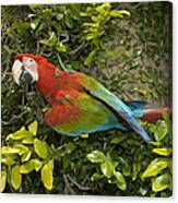 Scarlet Macaw Ara Macao Adult Perching Canvas Print