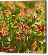 Scarlet Pimpernel Canvas Print