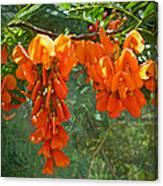 Scarlet Wisteria Tree - Sesbania Punicea Canvas Print