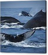 School Of Humpback Whales Canvas Print