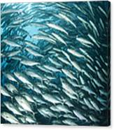 School Of Jacks, Indonesia Canvas Print