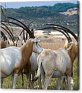 Scimitar-horned Oryx Canvas Print
