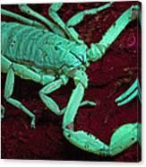 Scorpion Glows In Uv Light Costa Rica Canvas Print