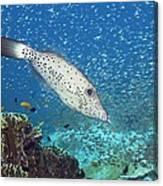 Scribbled Filefish Canvas Print