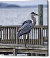 Scruffy Heron Canvas Print