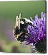 Scrufy Old Bee Canvas Print