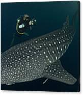Scuba Diver And Whale Shark, Papua Canvas Print
