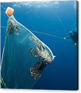 Scuba Diver Nets Invasive Indo-pacific Canvas Print