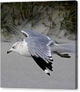 Sea Gull Searching Canvas Print