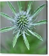 Sea Holly (eryngium Alpinum 'amethyst') Canvas Print