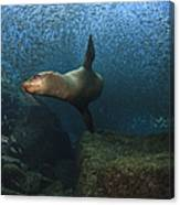 Sea Lion Chasing A School Of Bait Fish Canvas Print