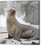 Sea Lion Monterey Canvas Print