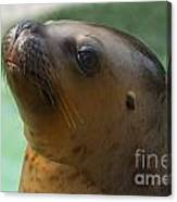 Sea Lion Up Close. Canvas Print