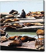 Sea Lions At Pier 39 San Francisco California . 7d14316 Canvas Print