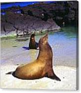 Sea Lions On Genovesa Island Canvas Print