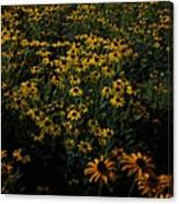 Sea Of Black-eyed Susans Canvas Print