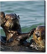 Sea Otter Enhydra Lutris Bachelor Male Canvas Print