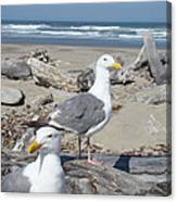 Seagull Bird Art Prints Coastal Beach Bandon Canvas Print