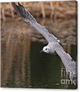 Seagull Seagull On The Move Canvas Print