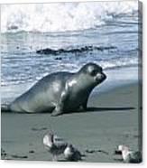 Seal And Seagulls At Piedras Blancas Beach Canvas Print