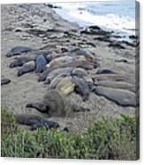 Seal Spa. Sand Bath Canvas Print