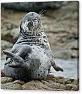 Seal Stretch Canvas Print