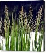 Seedy Grass Canvas Print