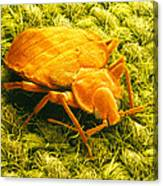 Sem Of A Bed Bug Canvas Print